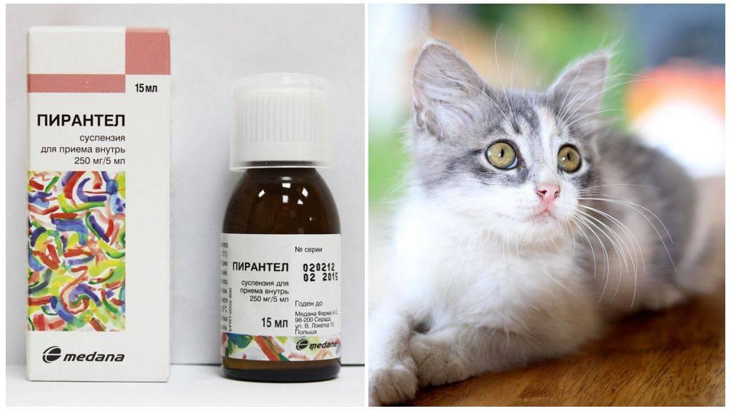 ᐉ можно ли коту дать пирантел от глистов? - zoomanji.ru