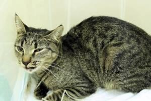 Сотрясения мозга у кошек: симптомы, что делать и как оказать первую помощь