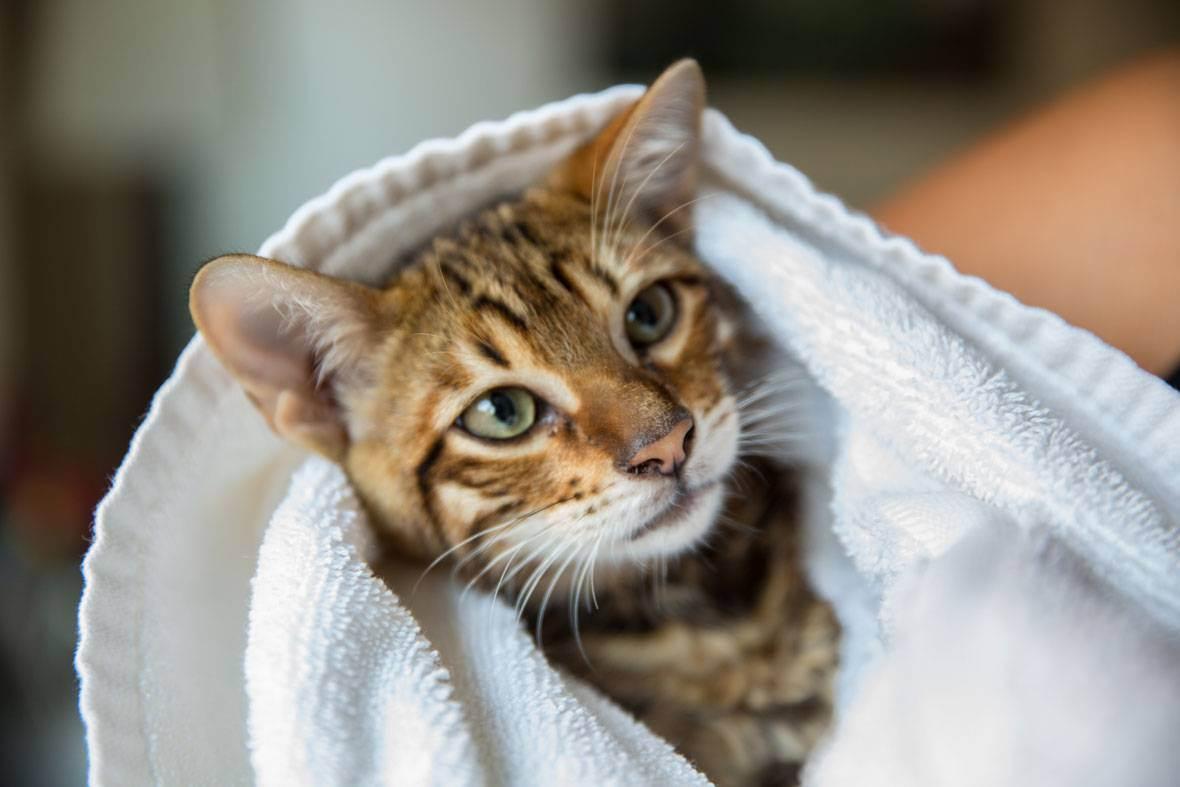 Как сушить котенка после купания. как сушить кота после купания. идем мыть кошку