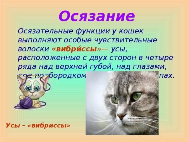 Зачем кошке и коту нужны усы: функции усов