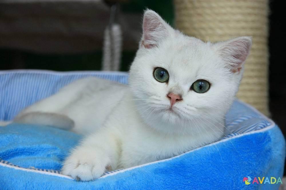 Британская кошка. о породе кошек: описание породы британская кошка, цены, фото, уход
