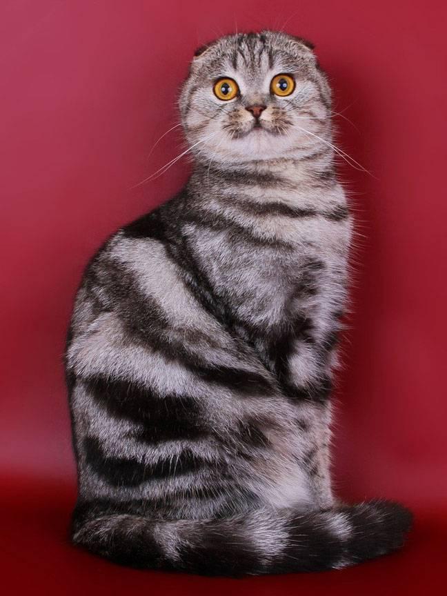 Шотландские коты черного окраса