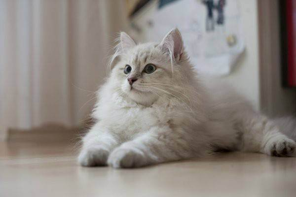 О гипоаллергенных породах кошек