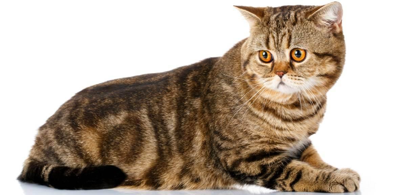 Шотландская прямоухая кошка. скоттиш-страйт