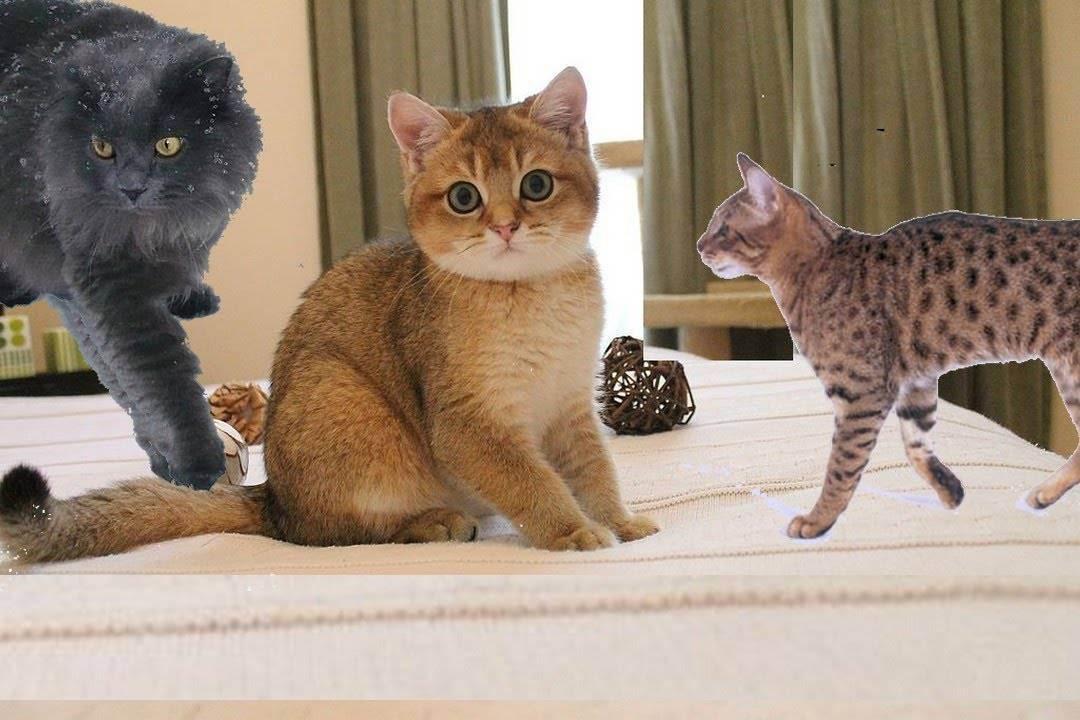 Какую кошку лучше завести в квартире: лучшая порода - любимая