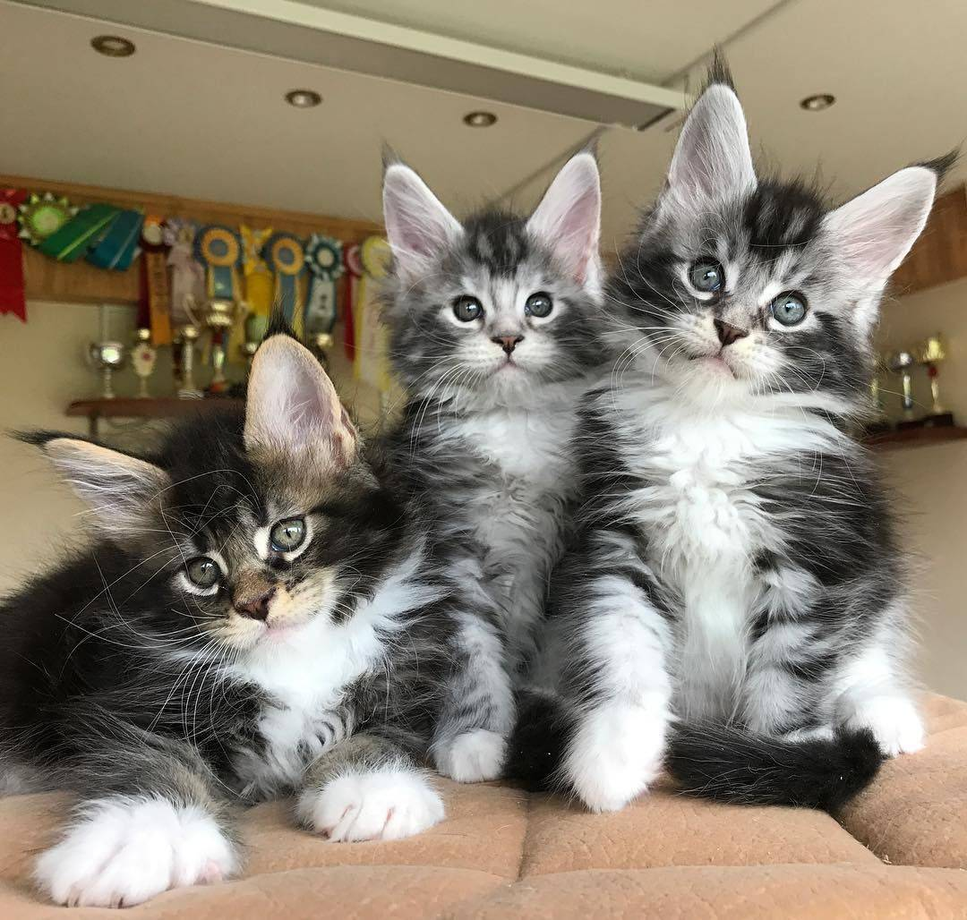 Котята мейн-кун: отличие от обычных кошек по размерам, шерсти, конституции и поведению