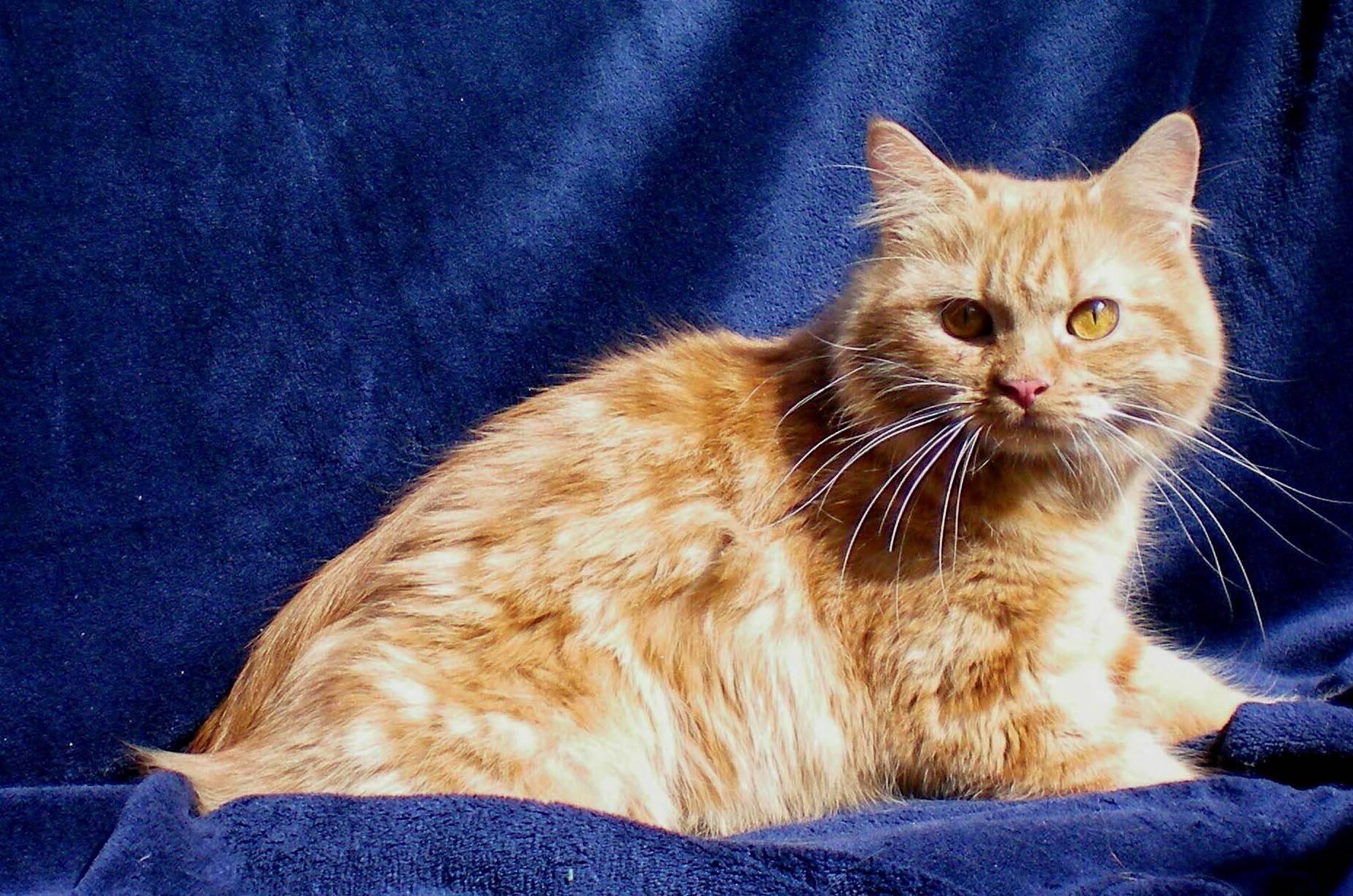 Рыжие кошки [фото + список пород]: суеверия, уход и особенности