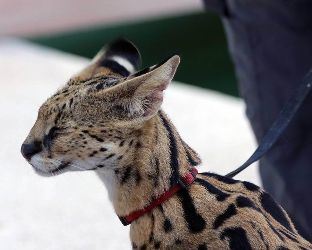 Саванна – кошка в гепардовой шкуре
