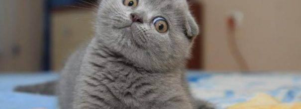 Британская короткошёрстная кошка: повадки, описание и характеристики породы и много фото