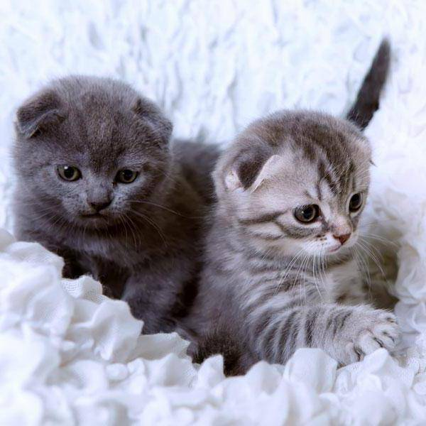 Имена и клички для шотландских котов и кошек