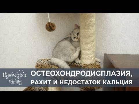 Остеохондродисплазия у кошек как лечить. остеохондродисплазия кошек: приговор или нет