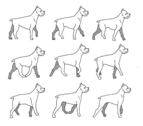 Кане корсо: описание породы собаки, характеристика, фото,