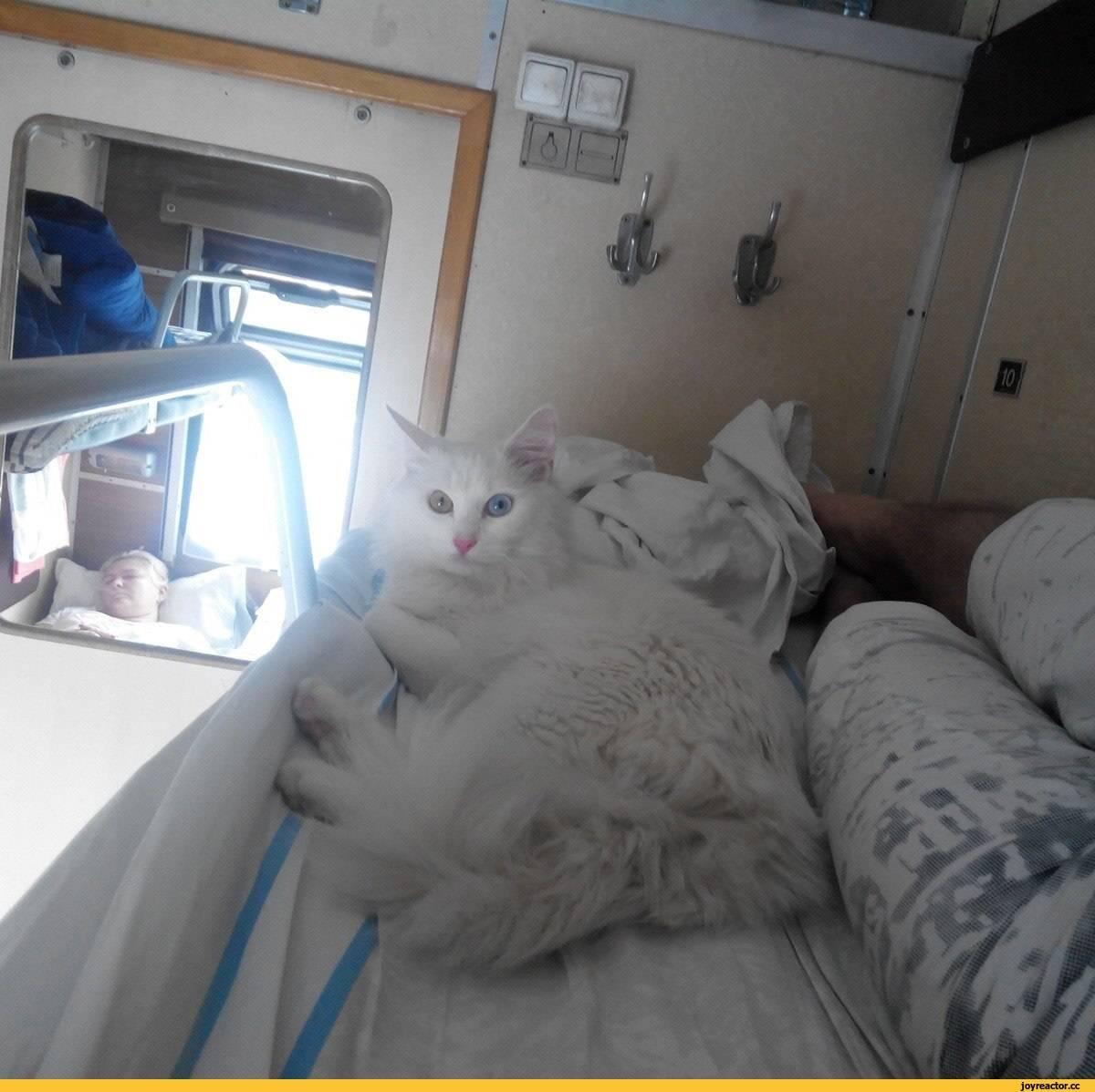 Как провезти кошку в поезде? советы хозяевам