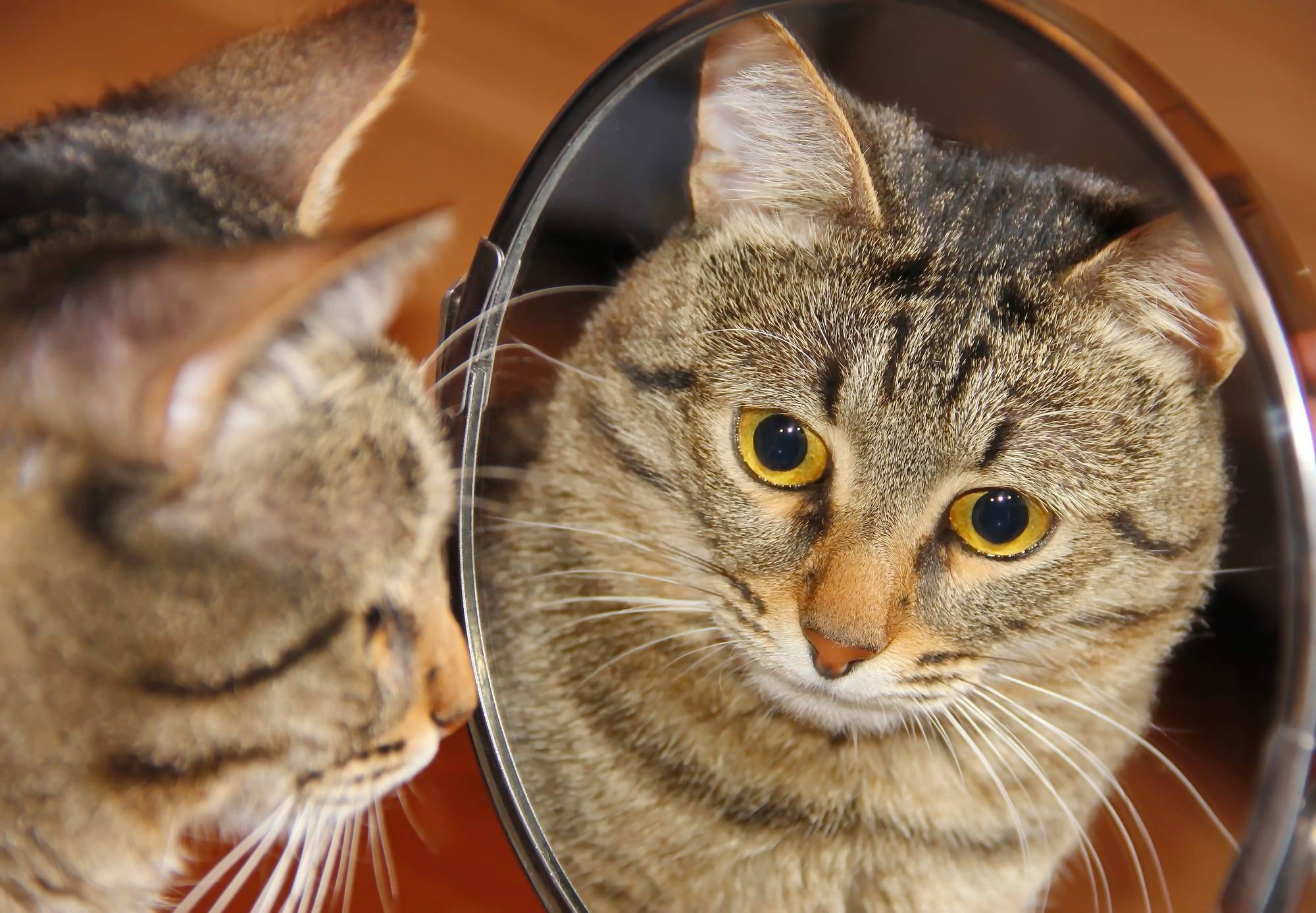 Почему кошки не видят себя в зеркале? видят ли кошки себя в зеркале почему кот смотрится в зеркало - новая медицина