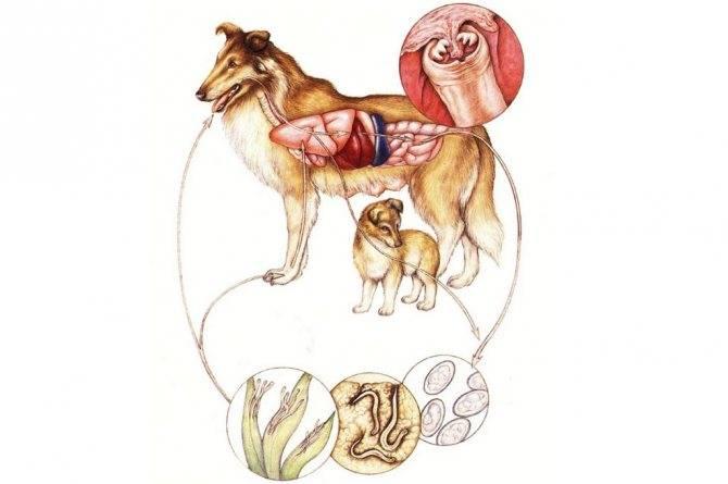 Дирофиляриоз у собак: сведения о паразите, симптомы и способы лечения