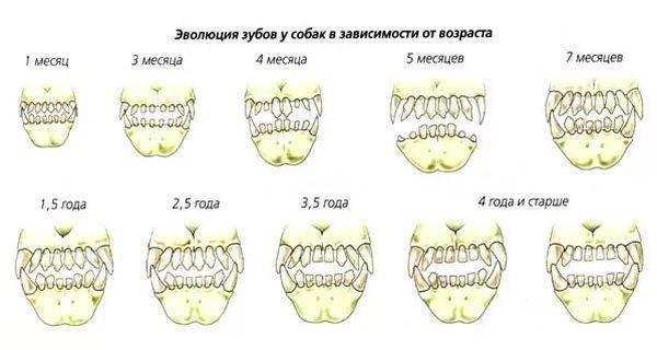 Как и когда происходит смена зубов у котят?