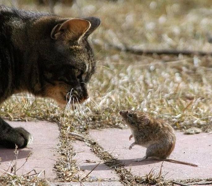 Кто лучше ловит мышей и крыс: кот или кошка, какая порода, кого лучше завести