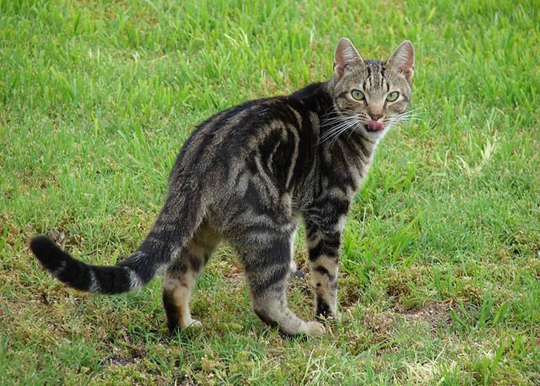 Породы кошек крысоловок: кимрик, мейн-кун, курильский бобтейл - какая лучше