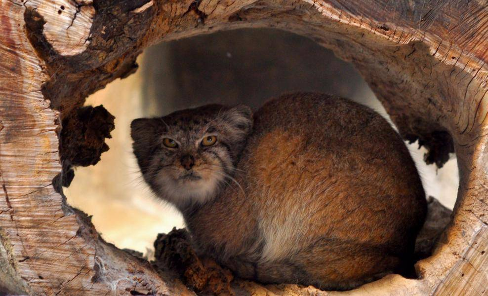 Дикая кошка темминка: описание внешности и характера, ареал обитания и образ жизни, размножение и численность вида