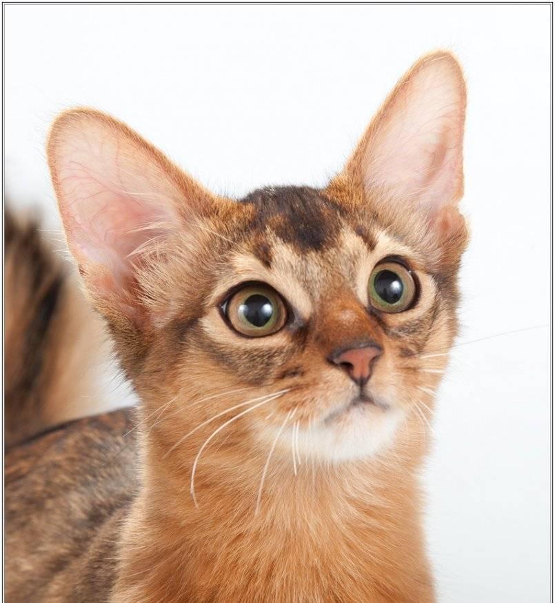 Сомалийская кошка – аристократка с лисьим хвостом