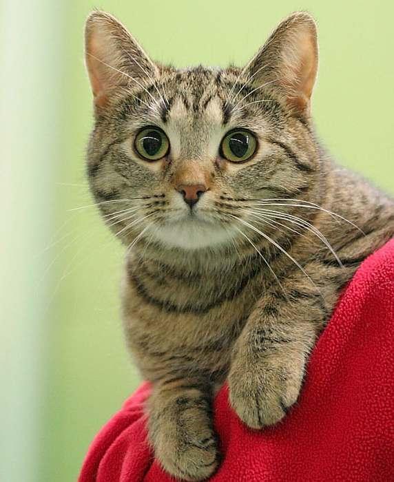 Кельтская кошка европейская короткошерстная: фото и описание экстерьера, характер и содержание