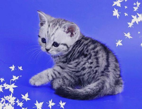 Какой породы кошка из рекламы «вискас»?