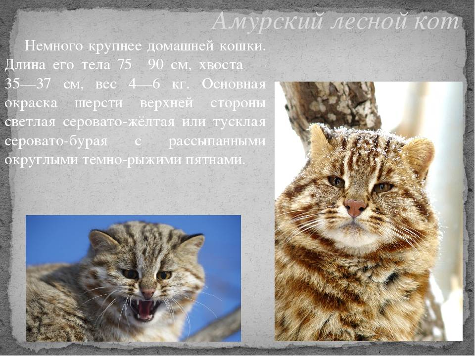 Дальневосточный лесной (амурский) кот