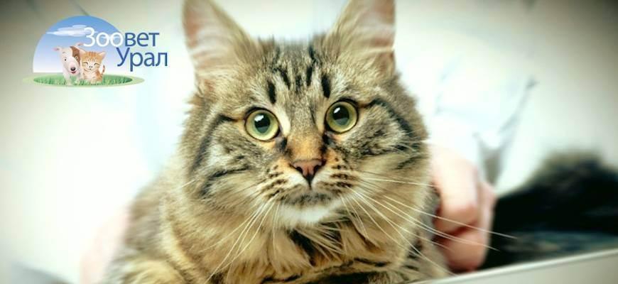 Стерилизация кошки: плюсы и минусы процедуры