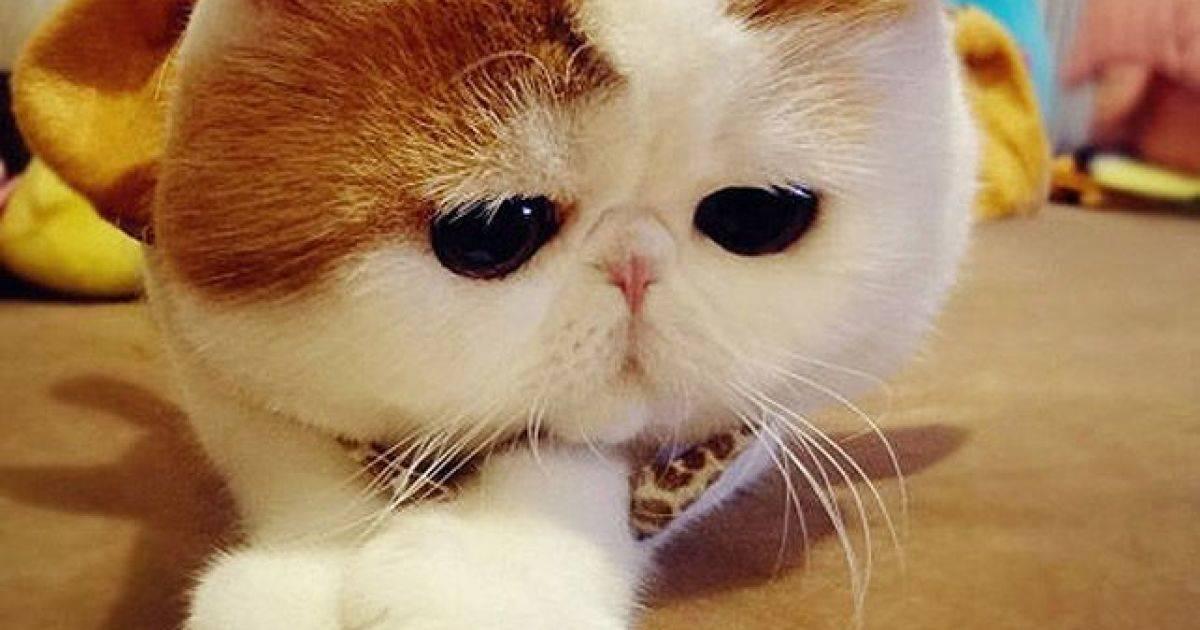 Экзотическая короткошерстная — описание пород котов