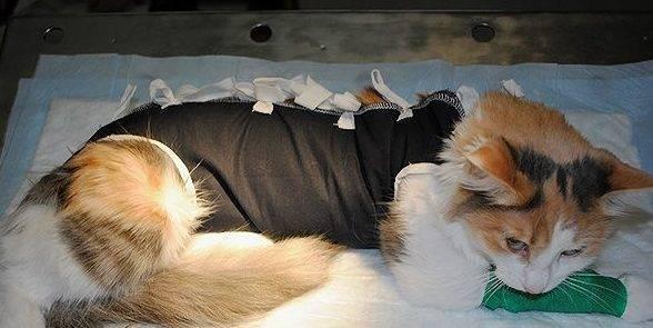Сколько отходят кошки от наркоза после стерилизации, как помочь животному?