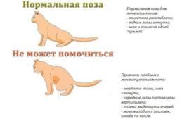 Кровь в моче у кошки, кота или котенка, частое мочеиспускание: причины, диагностика и лечение