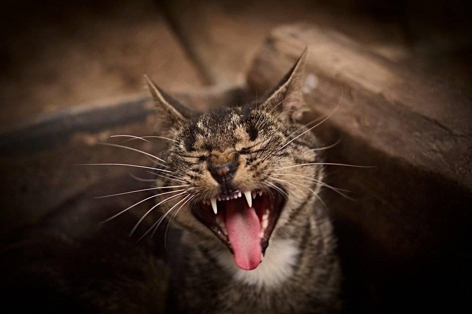 Может ли кот напасть на человека. кошка шипит и кидается на хозяина — в чём причина и что делать