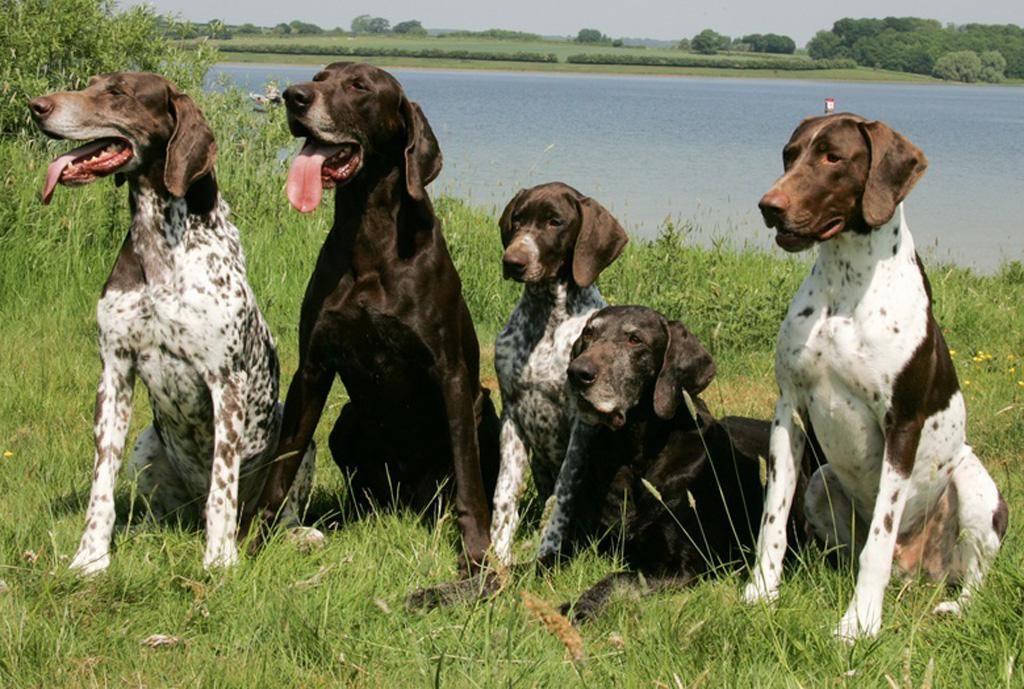 Породы охотничьих собак: названия и фотографии