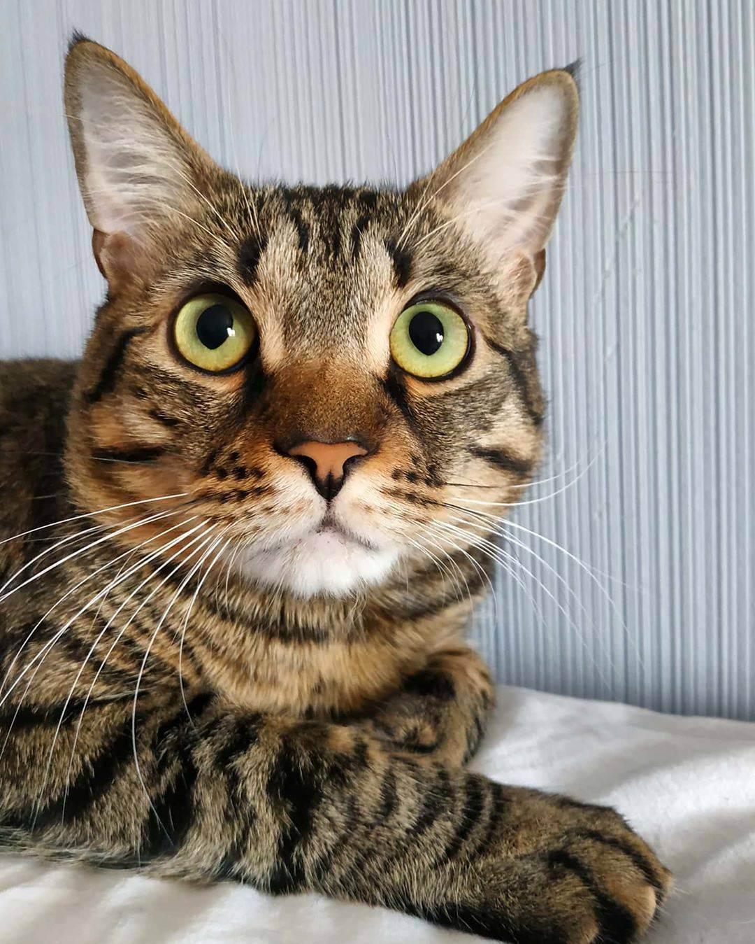 Сибирская кошка – пушистая охотница из таежных лесов