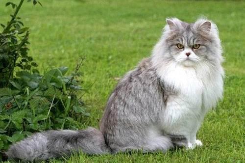 Британские длинношерстные кошки. описание породы и фото