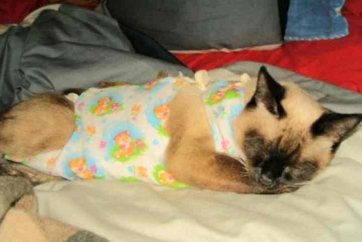 Кошка после стерилизации, поведение и восстановление: сколько дней животное восстанавливается?