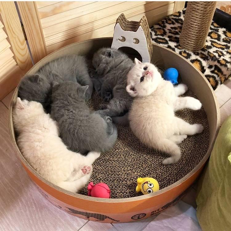 Самая спокойная порода кошек для квартиры: советы по выбору котенка