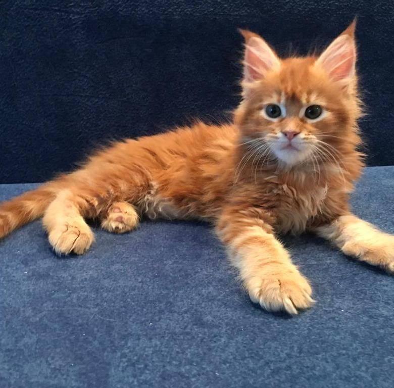 Стоимость котенка мейн-куна