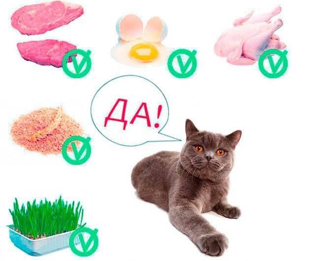 Чем кормить британских кошек: правильный рацион для котят, взрослых и пожилых питомцев