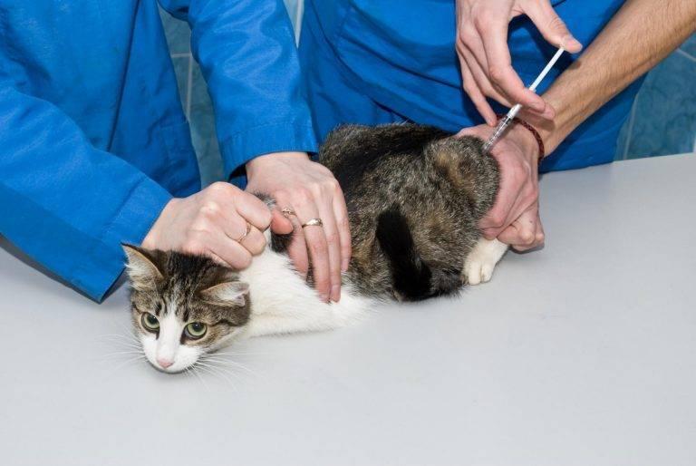 Прививка от лишая для кошек: эффективность вакцинации от грибковых инфекций, обзор средств
