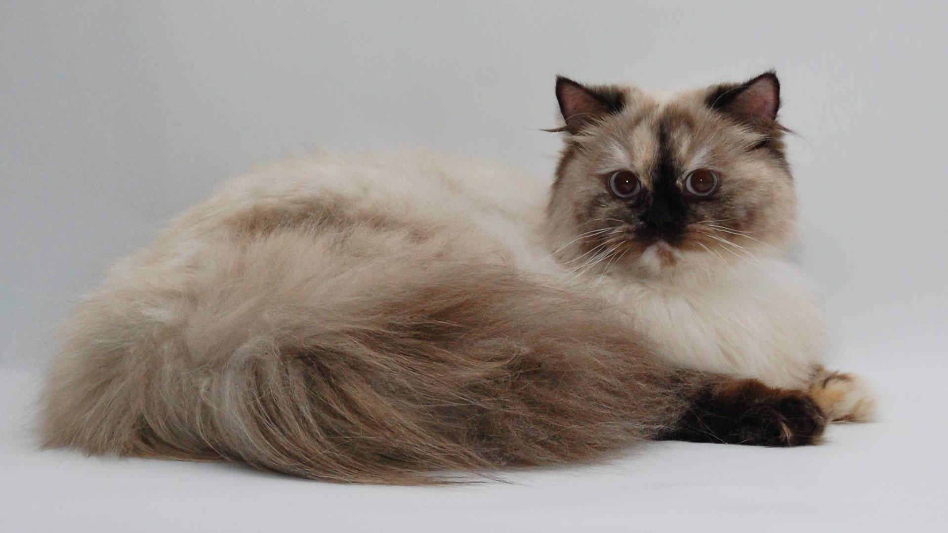 Британская длинношерстная кошка: описание, характер, фото
