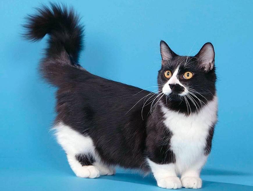 Манчкин кошка: описание, характер, фото, цена, содержание