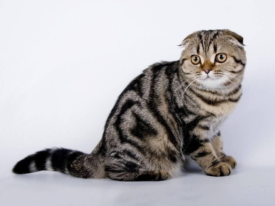 Шотландские мраморные коты: особенности окраса, описание породы и тонкости ухода
