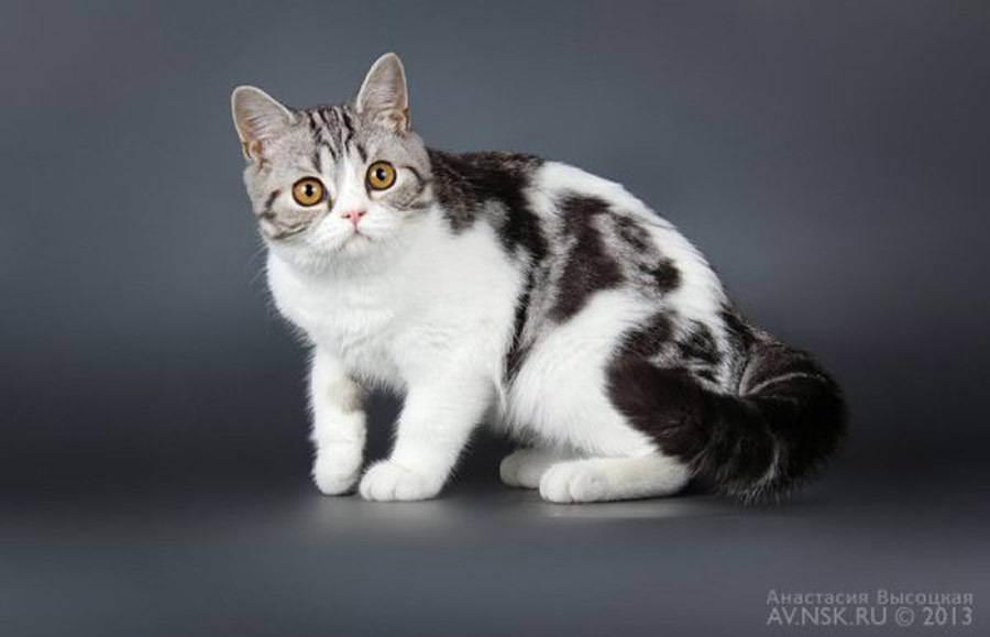 Чем отличается шотландская кошка от британской: основные отличия по внешности и характеру