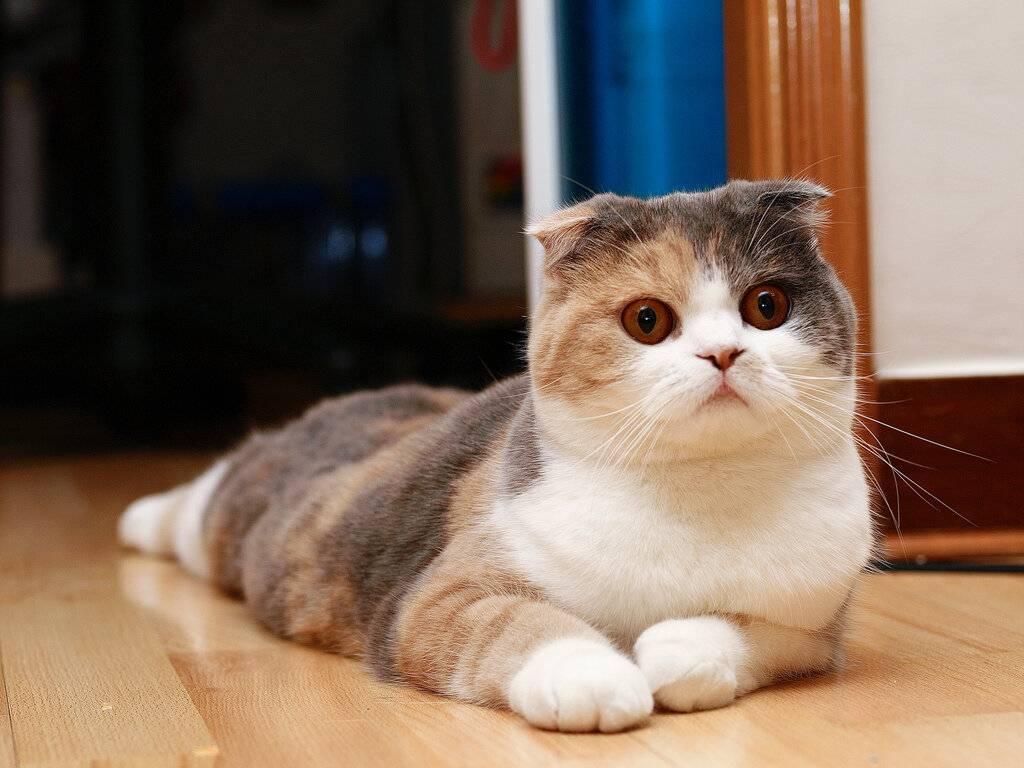 Как воспитывать шотландского кота