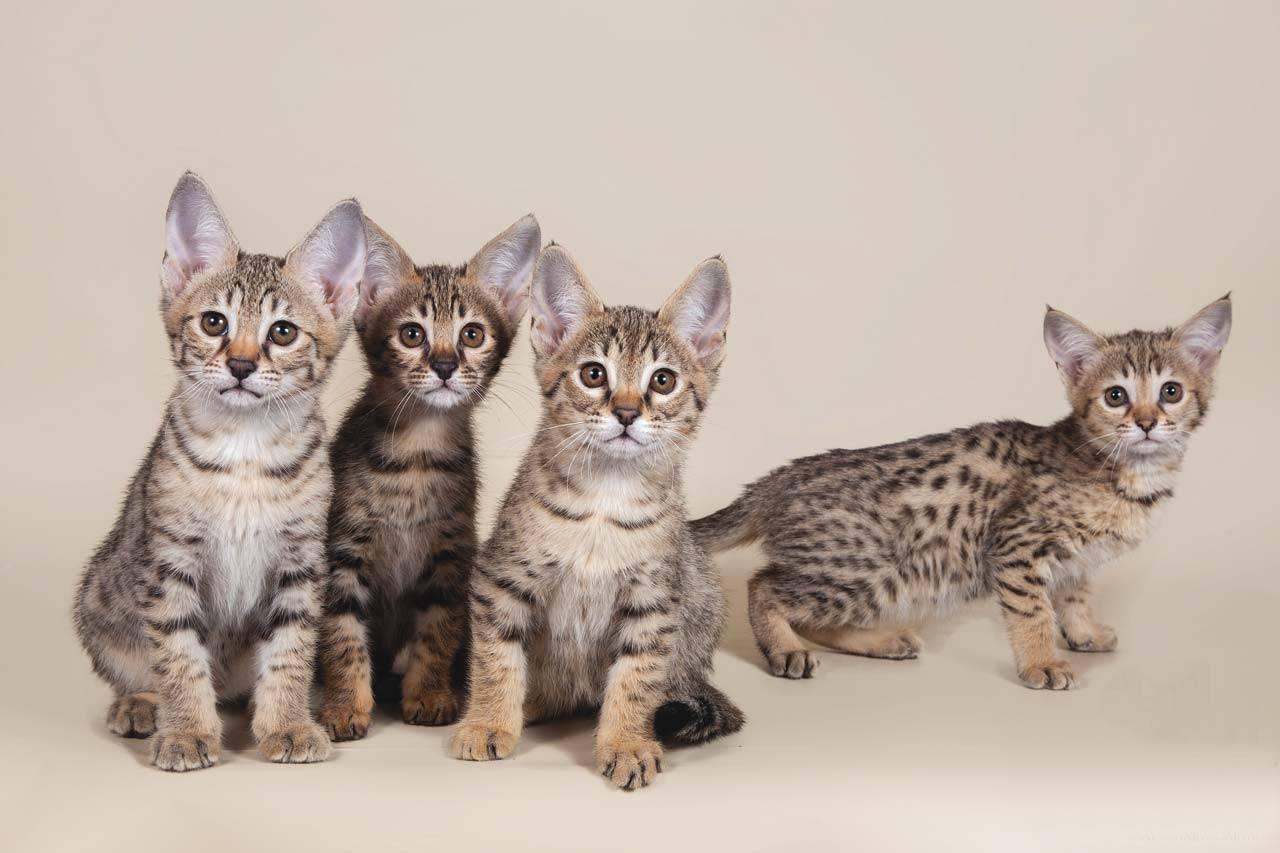 Саванна - 100 фото, характер и общие характеристики кошки особой породы