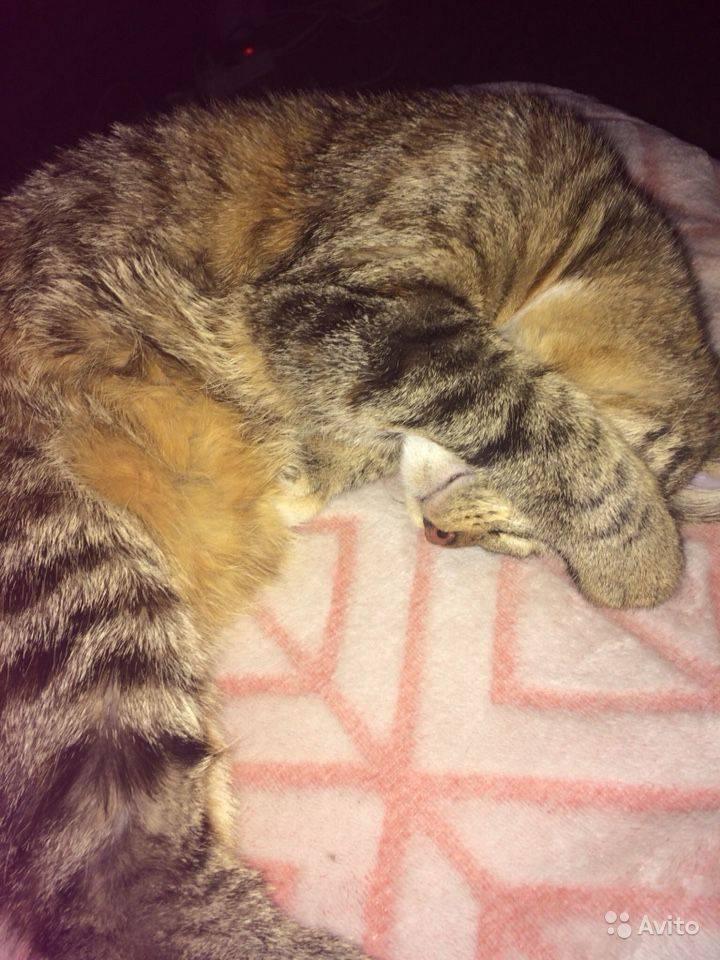 Успокаиваем кота когда он хочет кошку: народные средства и валерьянка