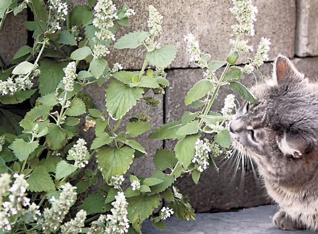 Кошачья мята (23 фото): что это такое? описание котовника. как он действует на кошек и котов? как использовать палочки кошачьей мяты и сухое растение?