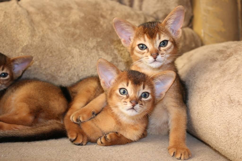 Кошка као-мани, фото животного и описание породы: как выглядит питомец, сколько стоит котенок?