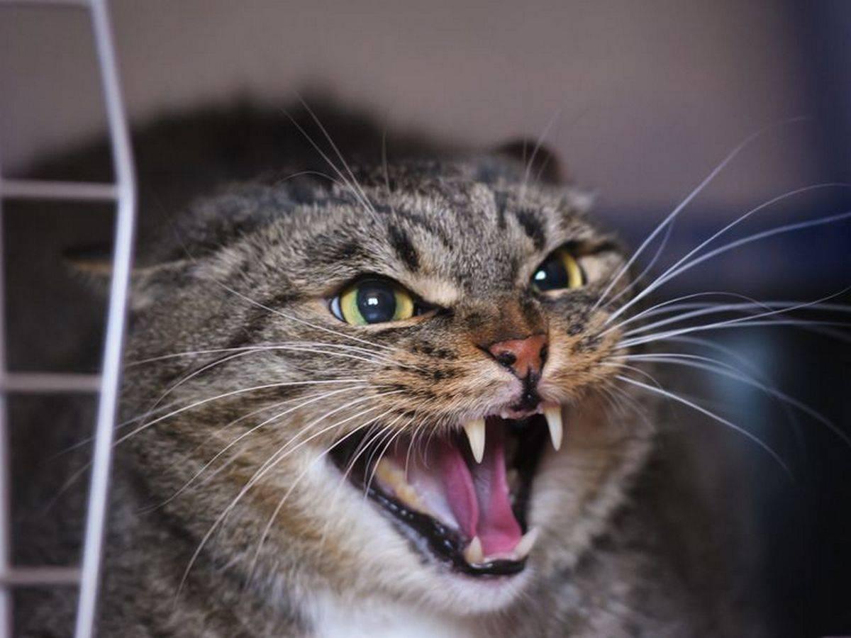 """Почему кошка шипит на котят и что с этим делать   блог ветклиники """"беланта"""""""